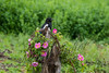 Birds, black billed magpie, perched on a stump with barbed wire, wildlife