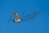 Birds, waterfowl, Canada geese