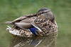 Birds, waterfowl, mallard duck, hen, wildlife