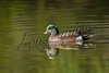 Birds, ducks, American widgeon, wildlife