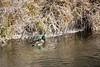 Birds, waterfowl, mallard, duck