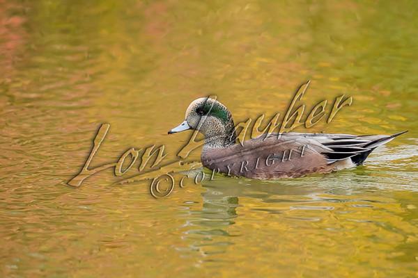 Birds, waterfowl, ducks, widgeon