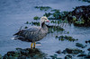 Emperor goose, Chen canagica,  sitting, standing, resting in shallow water, Bering Sea, AK.