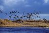 Birds, waterfowl, Emperor goose, Chen canagica, flock, group, flying, in flight, Bering Sea, AK.