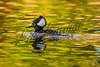 Birds, waterfowl, ducks, hooded mergansers