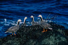 Emperor goose, Chen canagica, four geese sitting, standing, resting on a volcanic rock, ocean waves crashing in behind them, Bering Sea, AK.