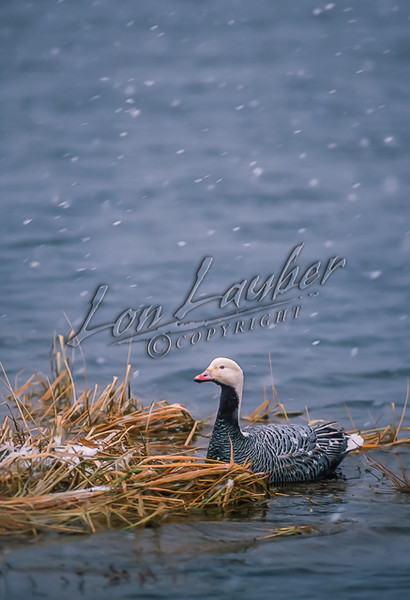 Emperor goose, Chen canagica, swimming, floating, resting in shallow water, snow, snowing, winter, cold weather,