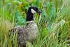 Aleutian Canada goose, Branta canadensis leucopareia,