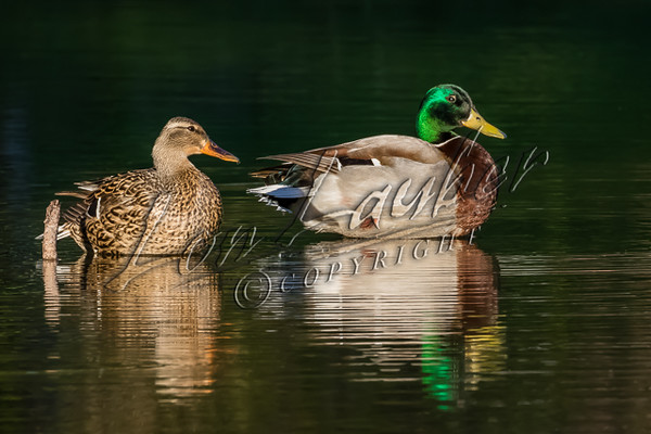 Birds, waterfowl, ducks, mallards, wildlife