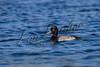 Birds, waterfowl, ducks, greater scaup, wildlife