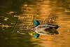 Birds, waterfowl, ducks, mallards