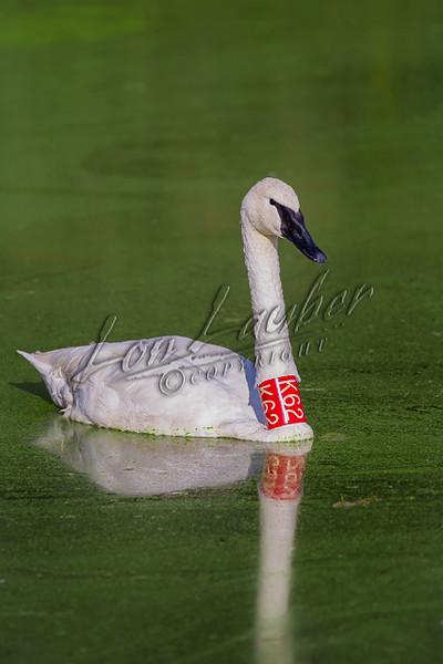 Swans, trumpeter swans, birds, waterfowl, wildlife