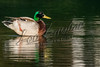 Birds, waterfowl, ducks, mallards, wildlife