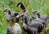 Aleutian Canada goose, Branta canadensis leucopareia, mated pair, goose and gander with goslings.