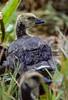 Aleutian Canada goose, Branta canadensis leucopareia, gosling.