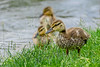 Birds, waterfowl, mallard duck, ducklings, wildlife