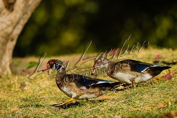Birds, waterfowl, ducks, wood ducks