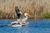 Birds, American white pelicans, wildlife
