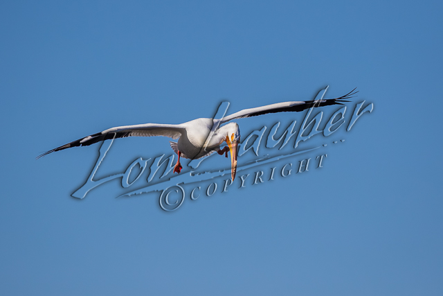 Birds, American white pelicans, wildlife