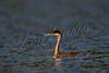 Birds, grebes, water birds, wildlife