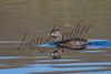 Birds, water birds, grebes, pied billed grebe, wildlife