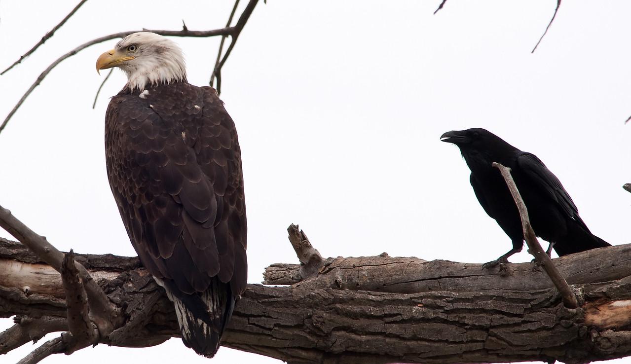 Bald Eagle & Common Raven