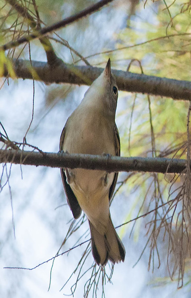 Chestnut-sided Warbler (1st winter)