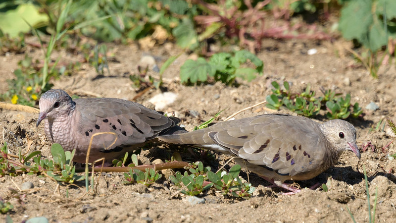 Common-ground Dove's