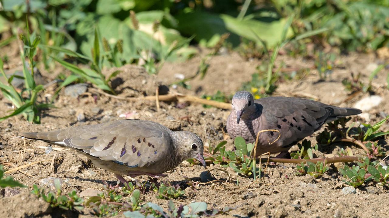 Common-ground Dove's