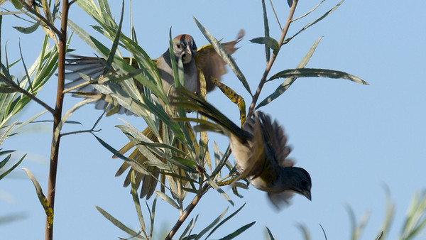 Green-tailed Towhee's