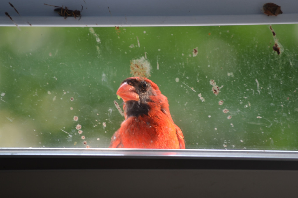 """""""Hey! I can see you in there!"""" The Cardinal seems to be saying, as he jumps against the glass pane again and again..."""