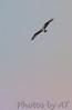 Osprey<br /> Busch Wildlife Area