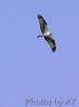 Osprey<br /> Busch Wildlife Area, Lake 33 <br /> <br /> No. 36 on my Lifetime List of Bird Species <br /> Photographed in Missouri.