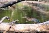 Green Heron <br /> Busch Wildlife Area