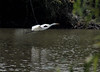 Great Egret<br /> Busch Wildlife Area