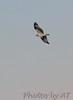 Osprey<br /> Busch Wildlife Area, Lake 33