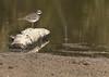 Kildeer <br /> Busch Wildlife Conservation Area <br /> <br /> No. 34 on my Lifetime List of Bird Species <br /> Photographed in Missouri