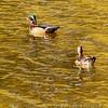 Wood ducks <br /> Mallard Lake<br /> Creve Coeur