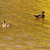 Wood ducks <br /> Mallard Lake<br /> Creve Coeur <br /> 2005-10-08<br /> <br /> No. 38 on my Lifetime List of Bird Species <br /> Photographed in Missouri.