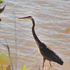 Great Blue Heron <br /> Mallard Lake<br /> Creve Coeur