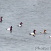 Canvasbacks<br /> Riverlands Migratory Bird Sanctuary <br /> <br /> No. 40 on my Lifetime List of Birds <br /> Photographed in Missouri