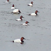 Canvasbacks<br /> Riverlands Migratory Bird Sanctuary
