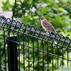 "Tree Sparrow<br /> Yokosuka, Japan<br /> In St. Louis its called an ""Eurasian Tree Sparrow"""