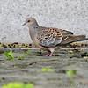 Oriental Turtle Dove<br /> [Streptopelia orientalis]<br /> Yokosuka, Japan