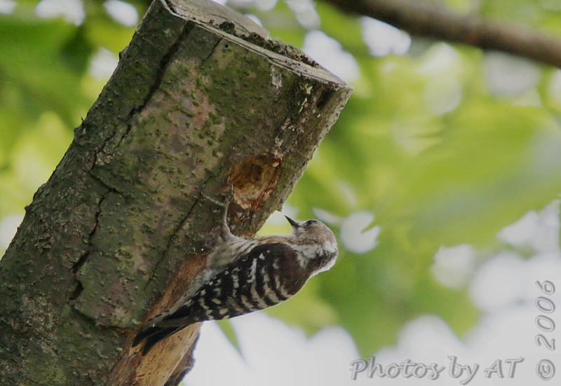 Japanese Pigmy Woodpecker<br /> Japan