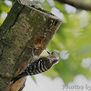 Japanese Pigmy Woodpecker<br /> Japan
