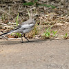 Black-backed Wagtail juvenile?<br /> Yokosuka, Japan