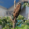 Black Kite (Milvus migrans)<br /> Yokosuka, Japan