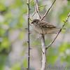 Eurasian Tree Sparrow<br /> Yokosuka, Japan