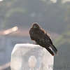 Black Kite (Milvus migrans)<br /> Yokosuka, Japan